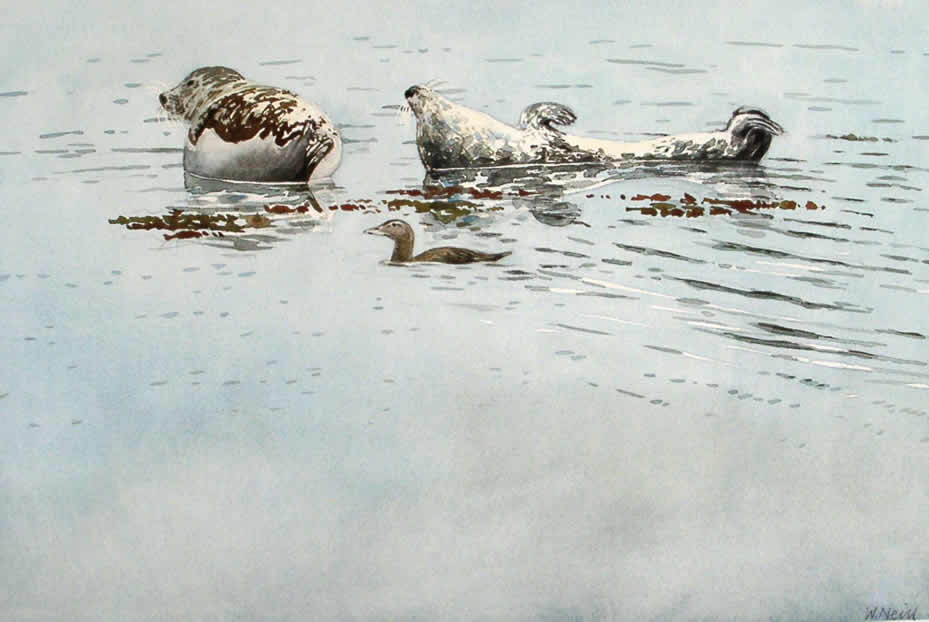 William Neill Wildlife and Landscape Artist - South Uist - Outer Hebrides - Eider and Seals
