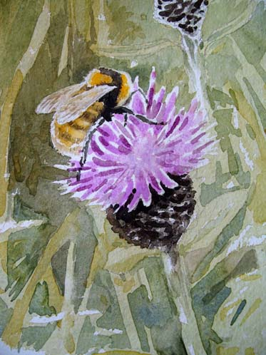 William Neill Wildlife and Landscape Artist - South Uist - Outer Hebrides - Great Yellow Bumblebee