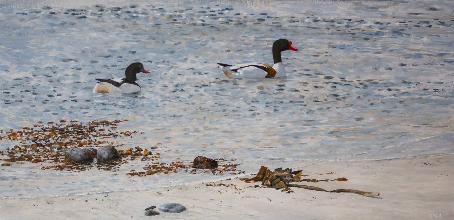 William Neill Wildlife and Landscape Artist - South Uist - Outer Hebrides - Shelduck