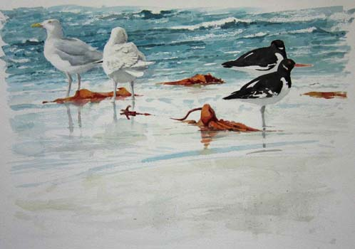 William Neill Wildlife and Landscape Artist - South Uist - Outer Hebrides - Gull