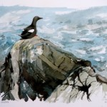 William Neill Wildlife and Landscape Artist - South Uist - Outer Hebrides - Tystie