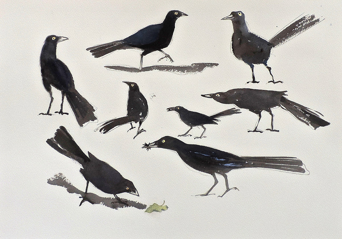 William Neill Wildlife and Landscape Artist - South Uist - Outer Hebrides - Grackles