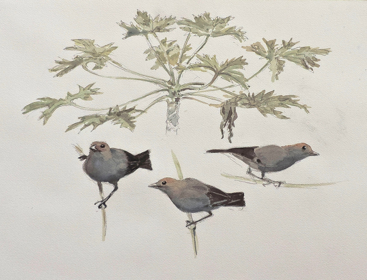 William Neill Wildlife and Landscape Artist - South Uist - Outer Hebrides - Palm Tanager