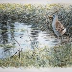 William Neill Wildlife and Landscape Artist - South Uist - Outer Hebrides - Water Rail